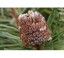 Banksia prionotes Photographic Print