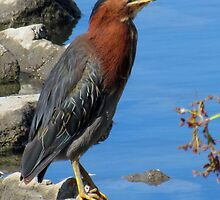 I'm a Little Green (Heron) by Bunny Clarke