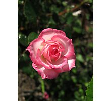 Pink Rose with Dewdrops Photographic Print