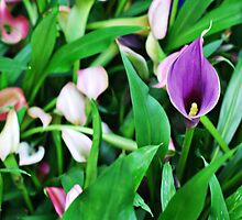 Purple Calla Lily by photecstasy