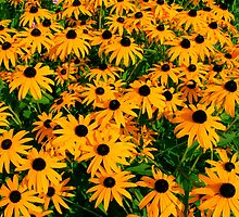 Black Eyed Susans by Joy Fitzhorn