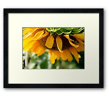 Summer Sunflower in bloom Framed Print