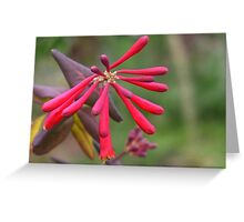 Trumpet Honeysuckle - Buds of Coral Woodbine Greeting Card
