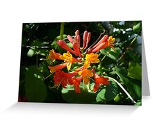 Orange Flowers of Woodbine HoneySuckle Greeting Card