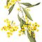 Acacia pycnantha - Golden Wattle by Cheryl Hodges