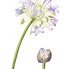 Agapanthus by Cheryl Hodges