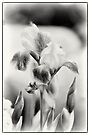 Painted Iris - Mono by KBritt