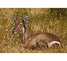 Waterbuck resting Photographic Print