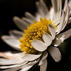Daisy by William Rottenburg