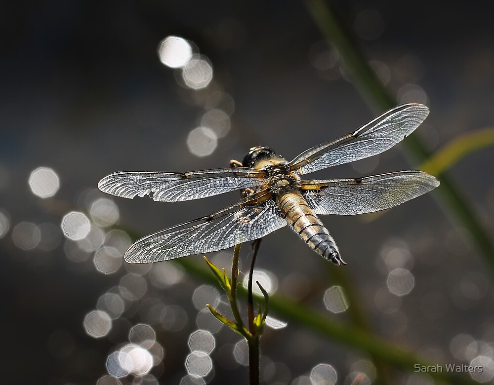 Broad Bodied Chaser by Sarah Walters