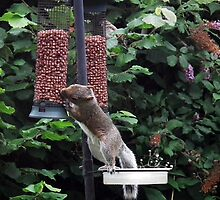 Squirrel raiding bird nut feeder by buttonpresser