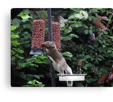 Squirrel raiding bird nut feeder Canvas Print