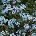 Forget-me-not, South Yorkshire by Ross Sharp