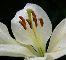 White lily with RainDrops by LoneAngel
