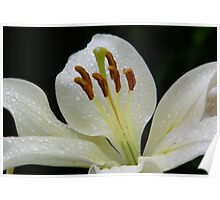 White lily with RainDrops Poster