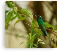 Sparkling Violeteared Hummingbird Canvas Print