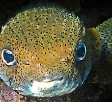 Porcupine Fish by globeboater