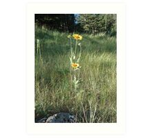 CONEFLOWERS - SWEET GRASS COUNTY, MT Art Print