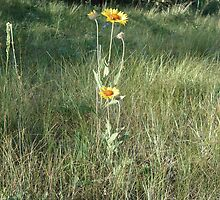 CONEFLOWERS - SWEET GRASS COUNTY, MT by May Lattanzio