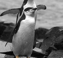 Chinstrap Penguins by rosepetal2012