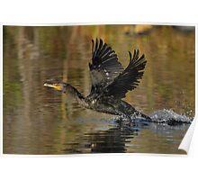 Cormorant Takeoff Poster