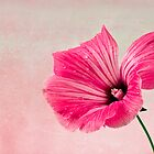 Pink Two Toned Lavatera  by Sandra Foster
