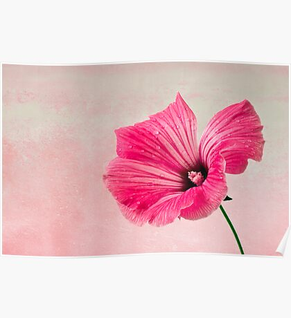 Pink Two Toned Lavatera  Poster