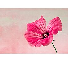 Pink Two Toned Lavatera  Photographic Print