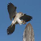 Kestrel Touchdown by Phillip Weyers