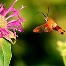 Hummingbird Moth by Larry Trupp