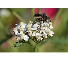 Thirsty Fly and Pink Aphid Photographic Print