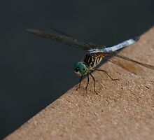Dragonfly on Dock by Kirstyshots