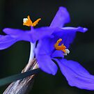 Patersonia sericea  by andrachne