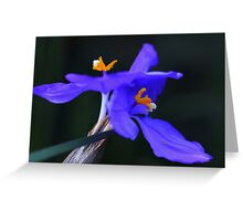 Patersonia sericea  Greeting Card