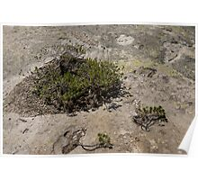 Life on Bare Rock - Junipers on a Mountaintop Poster