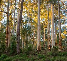 Karri forest at sunrise by Jennie  Stock