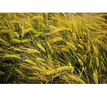 A barley fields' texture Photographic Print