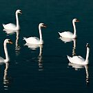 Seven swans a swimming. by Delboy10