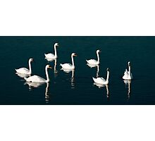 Seven swans a swimming. Photographic Print