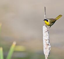 Common Yellowthroat by Tom Talbott