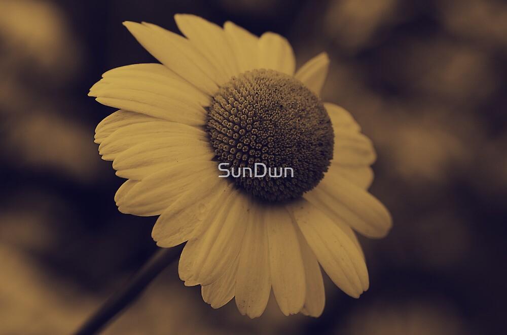 Leucanthemum vulgare by SunDwn