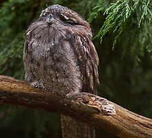 Frogmouth Owl, Cotswold Wildlife Park by JMChown
