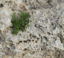 Life on Bare Rock - Pockmarked Limestone and Thyme  by Georgia Mizuleva
