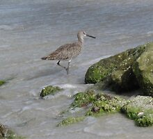 Willet by the Rock Pools by TedT