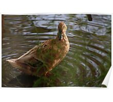 Mixed Breed Duck Poster