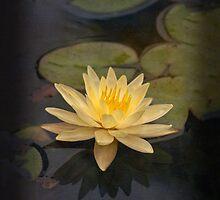 Zen lily for iPhone by Celeste Mookherjee