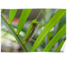 Cairns caterpillar Poster