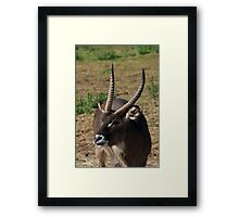 Well Horned Water Buck Framed Print