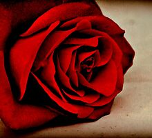 SCENT OF A ROSE by Jane  mcainsh
