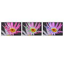 Daisy Triptych on White Photographic Print